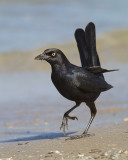 High Stepping Grackle