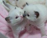 Ragdoll Kittens - three weeks old