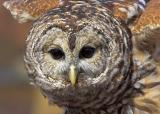 Barred Owl Display