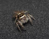 Jumping Spider Story Part - 2