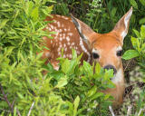 Fawn in Hiding