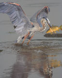 Blue Heron's Great Catch