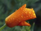 Poppy Raindrops