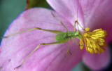 Grasshopper on Begonia