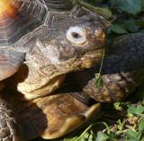 Mojave Desert Tortoise With Gular Horn