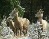 Bighorn Sheep Shadow