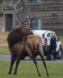 Elk Bull and Photographer
