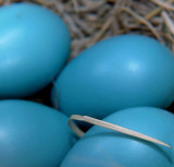 Robin Egg Blue - Spring Hue