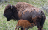 And the Mother Bison Said...