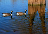 Canada Geese and Tree Reflections