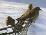 Backyard Doves in Snow