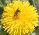 Green Bee on Dandelion