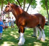 Chance the Clydesdale
