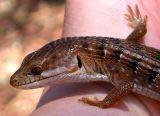Southern Alligator Lizard Closeup