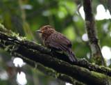 Crescent-chested Puffbird