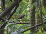 Female Sooty Grassquit