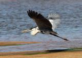 Cocoi (White-necked) Heron