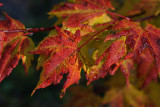yellow and red maple1.jpg