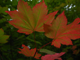 fall colors maple.jpg