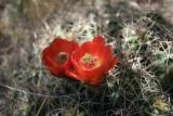 Cacti Blooms.jpg