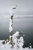 Snowy Mullein.jpg