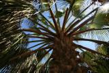 1Date Palm.jpg