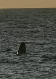 1Gray Whale.jpg