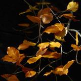 turning beech leaf season