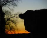 Herefordshire sky, Herefordshire moo