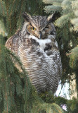 Grand-Duc D'Amerique / Great Horned Owl