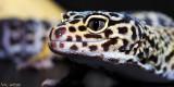 Mes Peanuts (Gecko Leopard)