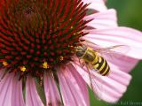 2006-07-08 Pollinator