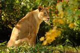 Mama Lion National Zoo Washington D.C.