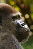Gorilla National Zoo Washington D.C.