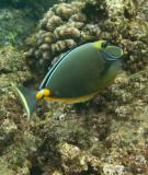 Orange Spine Unicornfish