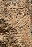 African Mahogany Tree Bark