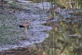 Wattled Plovers
