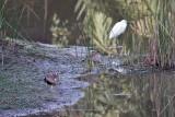 Wattled Plovers & White Heron