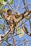 Red Colobus Monkey & Baby