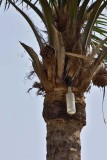 Sap Collection Bottle for Palm Wine