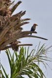 Blue-breasted Roller