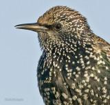Spreeuw - Starling - Sturnus vulgaris