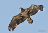 Amerikaanse zeearend - Bald eagle - Haliaeetus leucocephalus