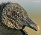 Zwarte Gier - Black Vulture - Coragyps atratus