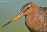 Grutto - Blacktailed Godwit - Limosa limosa