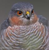 Sperwer - Sparrowhawk - Accipiter nisus