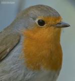 Roodborst - European robin - Erithacus rubecula