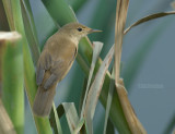 Reed-Warblers and Allies