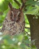 Ransuil - Long-eared owl - Asio otus