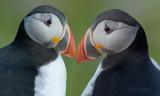 Papagaaiduiker - Puffin - Fratercula arctica